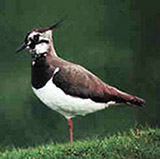 Lapwing or Green Plover